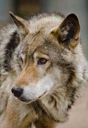 Interesting Facts about Wolves Since ancient times, wolves have been associated with danger, evil, and feared by people. But are they really the way folklores depict them? Let's find out in the following article. Read more at Buzzle: http://www.buzzle.com/articles/interesting-facts-about-wolves.html