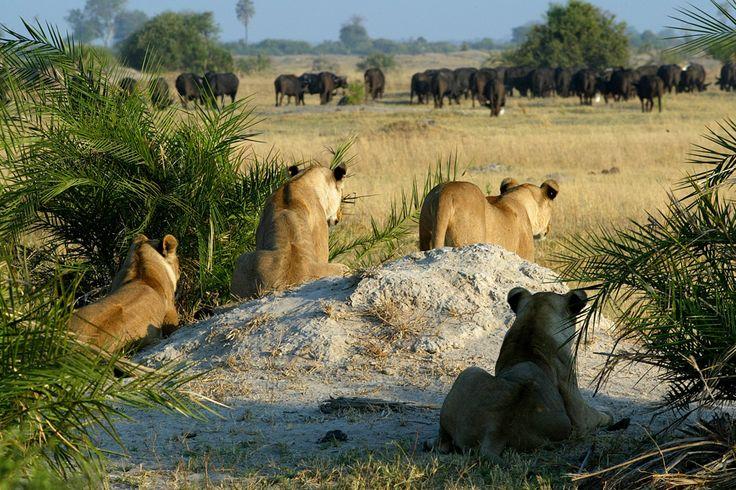 #safari #Botswana #gameviewing