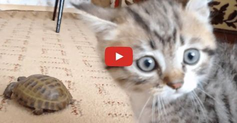 Click to see what kitten does when he meets a tortoise for the first time.