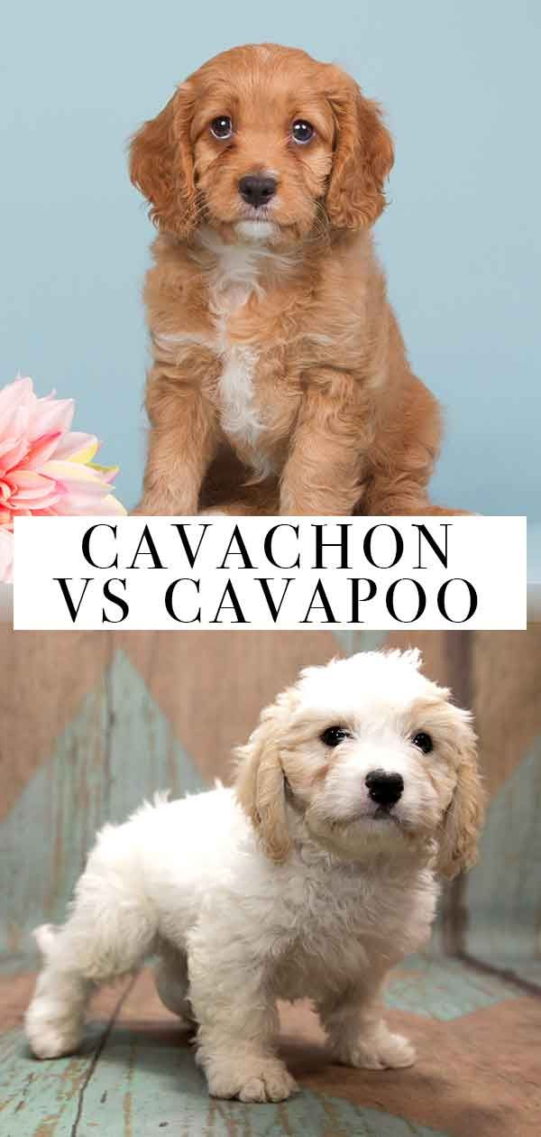 Cavachon vs Cavapoo – What's the Difference Between These