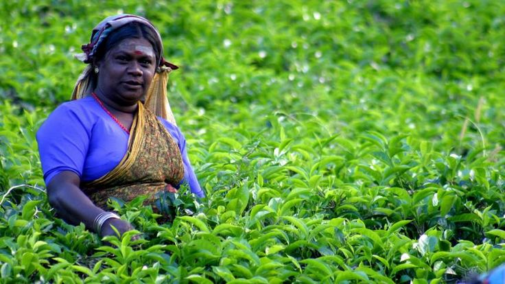 Der Ceylon-Tee kommt aus Sri Lanka. Nutze deinen Urlaub in dem Land in Südasien für eine Zugfahrt zu einer Tee-Plantage. Hier gibt's Tipps und Infos.