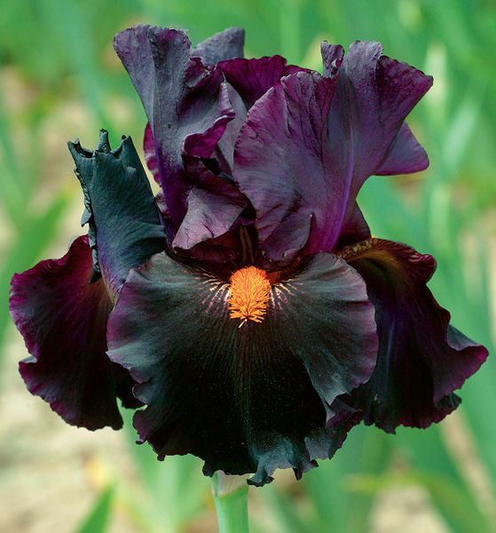 "Iris 'Dracula's Kiss' - Looking for some drama in your flower garden?  This variety should fit the bill. Height 36""."
