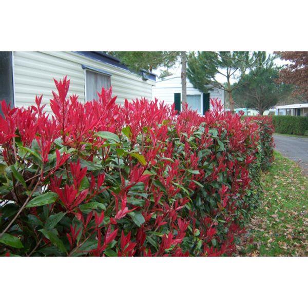 Photinia Red Robin - hedge,screen,screening,evergreen,hedges