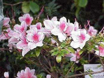 Flores de azaleas. Preciosas! Sus cuidados merecen la pena. Alegran alma y retina!