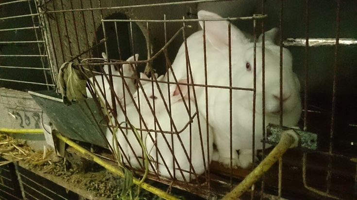 Rabbits are usually killed for their fur when they're just 6 months old. Some – like this one – are kept for breeding, but their babies will be killed.
