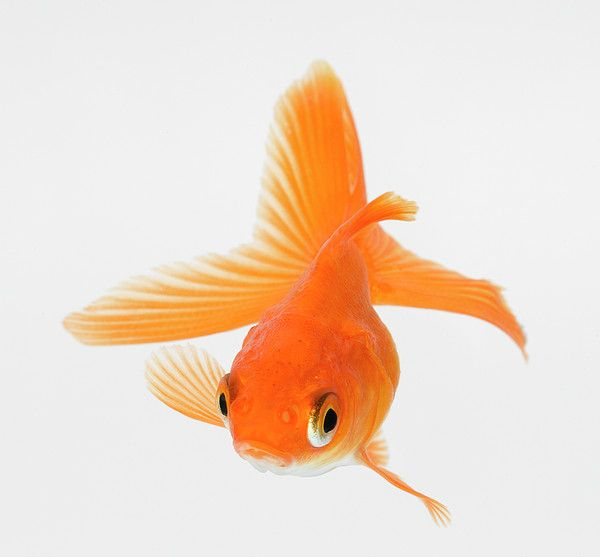 Fantail Goldfish (carassius Auratus) Canvas Print / Canvas Art by Don Farrall