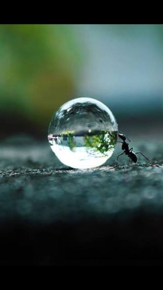 An ant pushing a water droplet.
