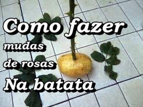 Como fazer mudas de rosa com uma batata crua / How to make rose seedlings with a raw potato - YouTube