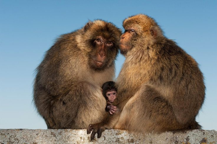De berberaap is de enige makaak die buiten Azië in het wild voorkomt, namelijk op de rots van Gibraltar en in Noord-Afrika.