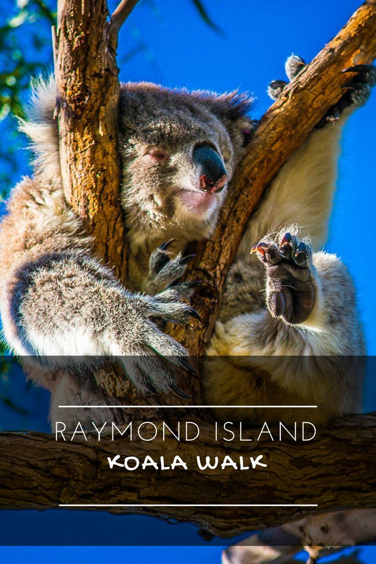 Koalas are native to Australia. On raymond Island there is a Koala walk that lets you see these animals in the wild. ---------------------------------- Gippsland Australia Paynesville Australian animals Gippsland Lakes
