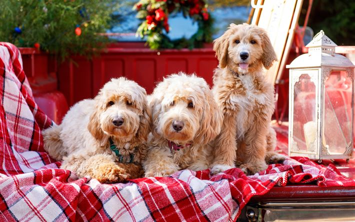 Download wallpapers Goldendoodle, Canis lupus familiaris, cute dogs, furry dogs, pets