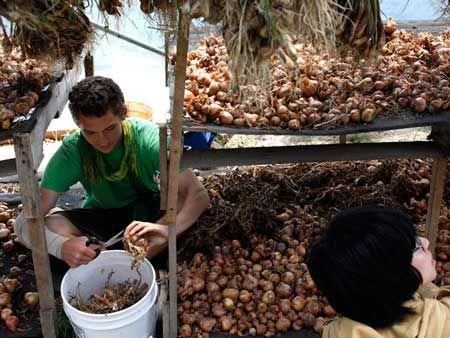 how to grow garlic inside