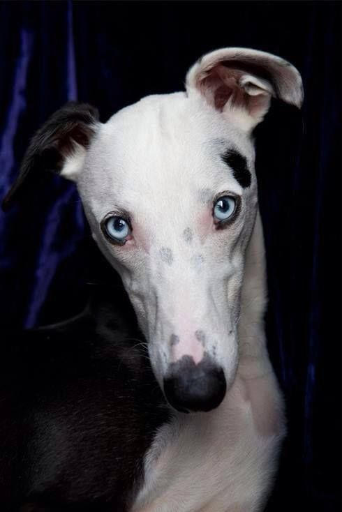 Blue Eyes Grey Hound Dog Whippet Dog Blue Eyed Dog