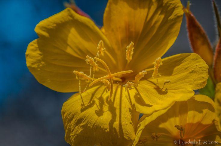 Carousel. Карусель.  #originalcontent #Carousel #flower #bright #yellow #juicy #macro #flower #stamen #pollen #petals #wild #autumn #field #light #shadow #nikon