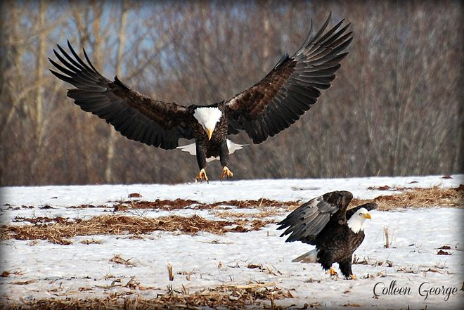 A Bald Eagle's wingspan can be approximately 6 to 7 1/2 feet. This one is showing off its wingspan to full effect as it comes in for a landing
