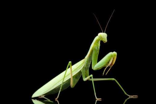 The Praying Mantis was actually introduced to the United States to help control pests, but it is now so common it is considered native.