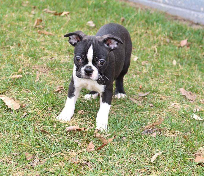 Bill Male Akc Boston Terrier Pup For Sale In Lagrange Indiana