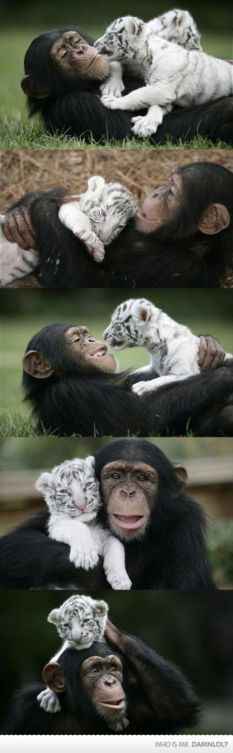 i laugh when i see photos like this!!!!! this the chimp and royal white bengal tiger from the company i worked at! visit myrtlebeachsafari.com! check it out one of a lifetime experience <3