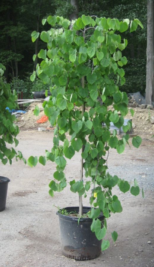 The 25 best weeping trees ideas on pinterest small for Weeping trees for small gardens