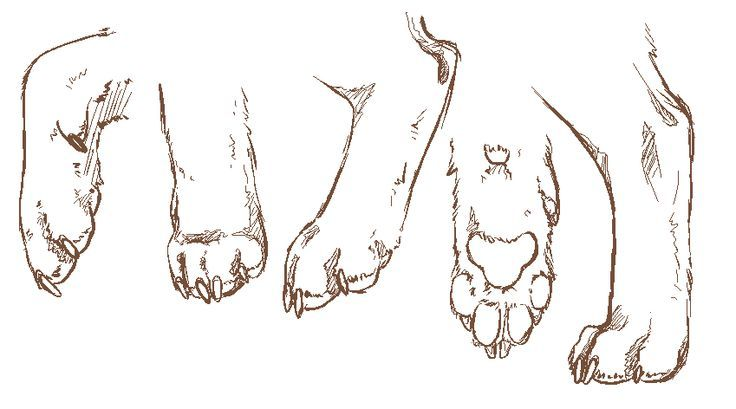 how to draw fox wolf on two legs