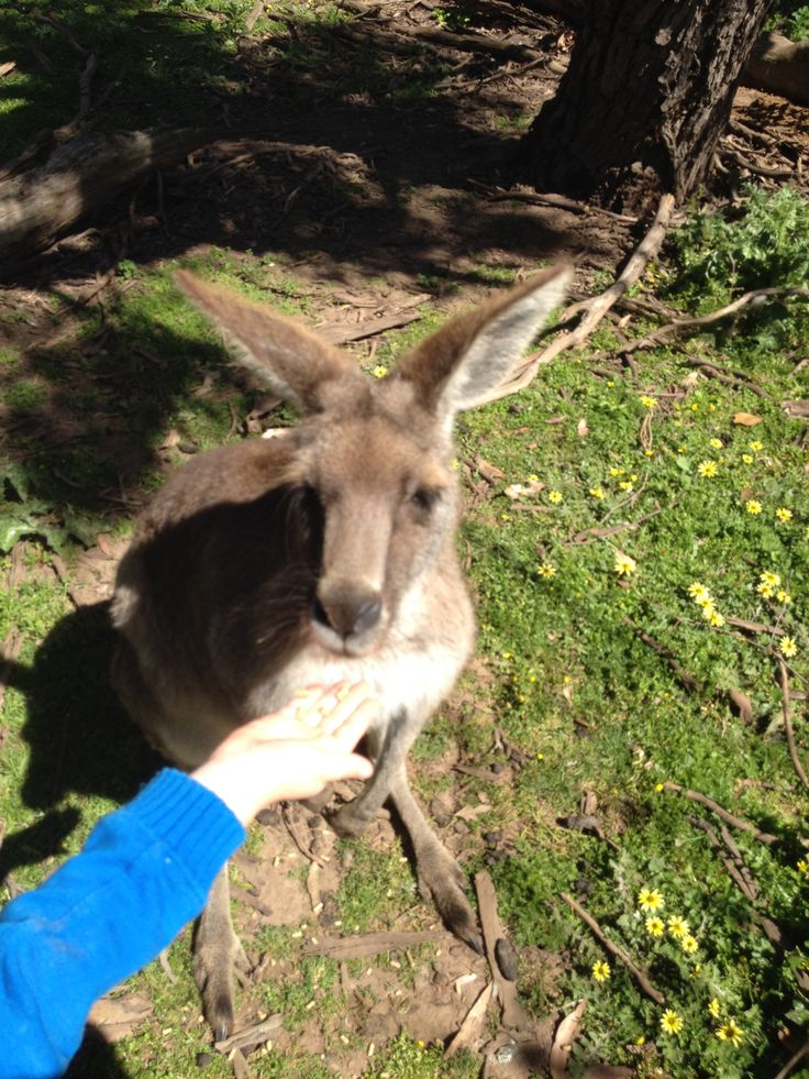 Feeding the natives at Wildlife park in Cowes, Victoria Australia