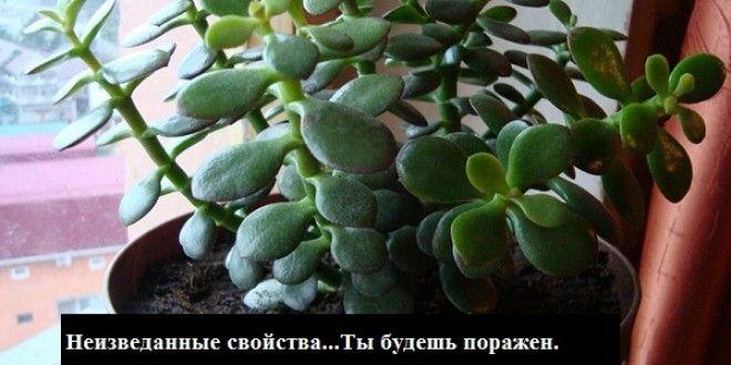 Толстянка или денежное дерево — растение, которое есть дома практически у каждого. Многих она привле...
