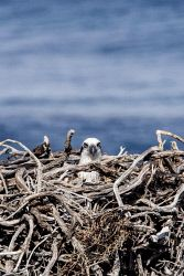 WAN-0014058 © WestPix Rottnest Island wildlife. Osprey Picture: Simon Santi The West Australian