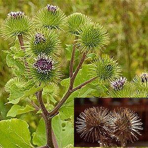 Έρευνα/Κολλιτσίδες. Φυτά λαθρεπιβάτες ή φυτά εφευρέτες;