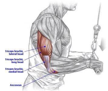 1000 images about muscle diagrams on pinterest healthy curls  : tricep diagram - findchart.co