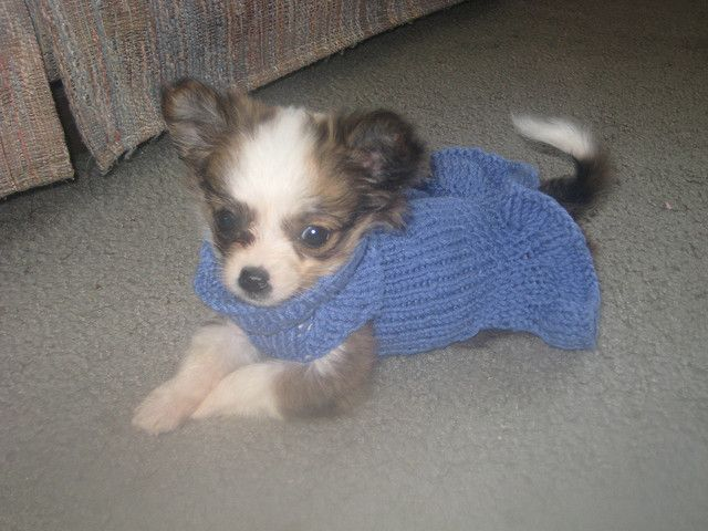 16 besten my chihuahuas Bilder auf Pinterest   Chihuahuas, Hunde und ...