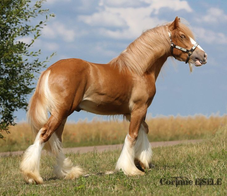 silver chestnut gypsy vanner draft horse