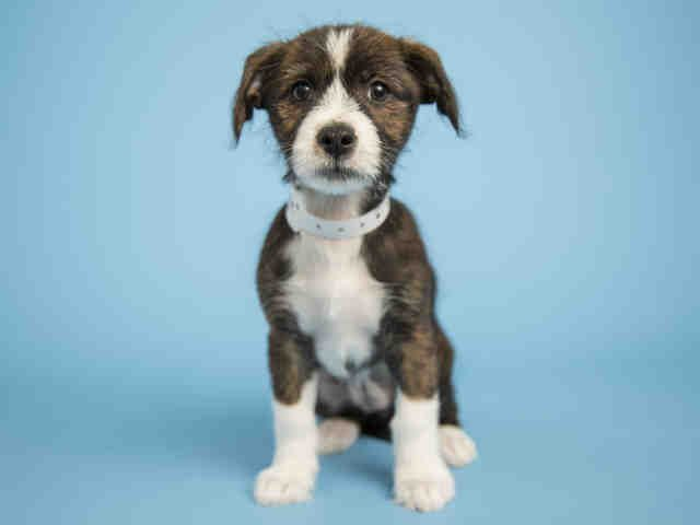 FUDGIE is an adoptable Jack Russell Terrier (Parson Russell Terrier) searching for a forever family near Phoenix, AZ. Use Petfinder to find adoptable pets in your area.