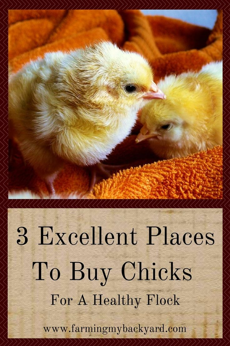 3 Excellent Places To Buy Chicks For A Healthy Flock ...