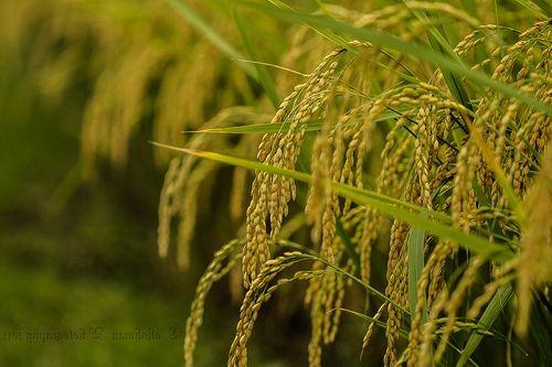 Gambar pemandangan sawah padi dari dekat | Pemandangan