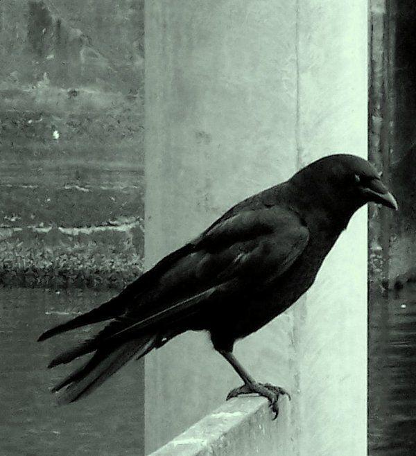 Mr. Crow by mister-fuzzy on DeviantArt