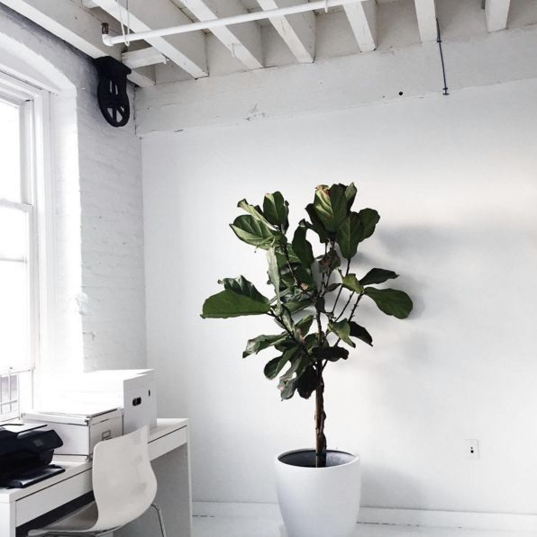 Cool Office Plants. Everything You Need To Know About The Fiddle Leaf Fig.  Cool