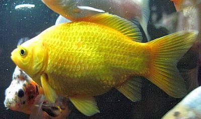 yellow goldfish | yellow common goldfish