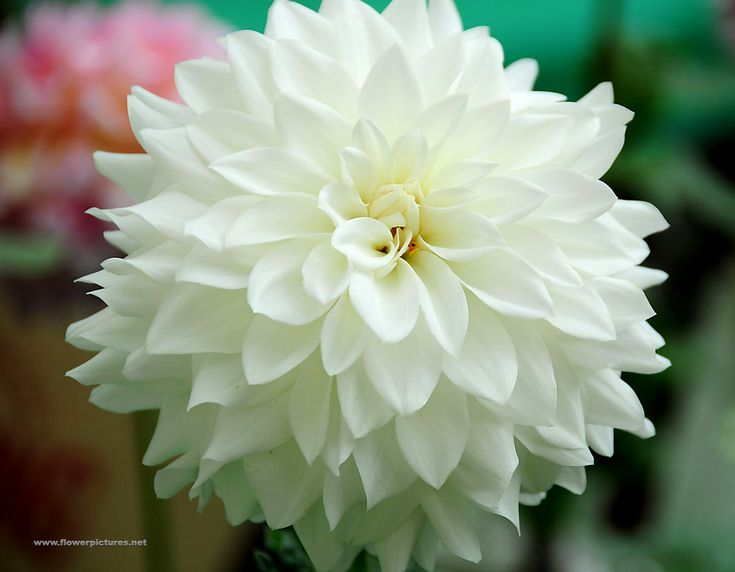 White dahlia illustrations dahlia 39 beaucon white for Flowers that look like dahlias