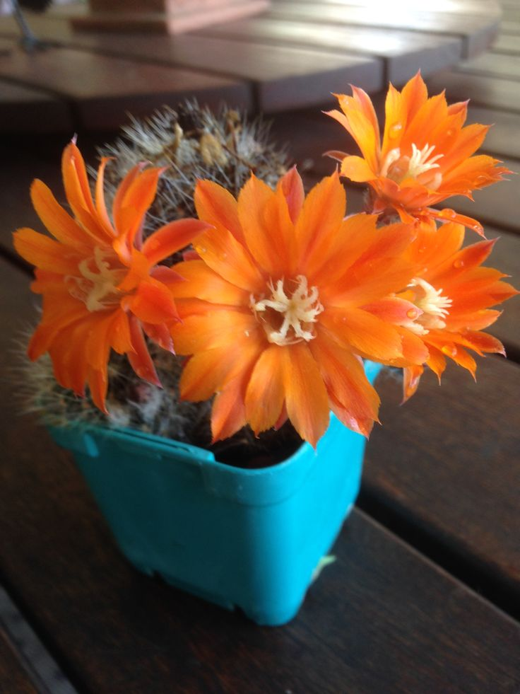 Oct 2015 What a lovely surprise this morning, gorgeous bright orange flowers on this little cactus. Such a shame they don't last long....
