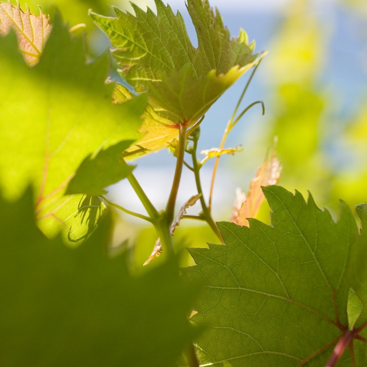Wine Leaves Samos