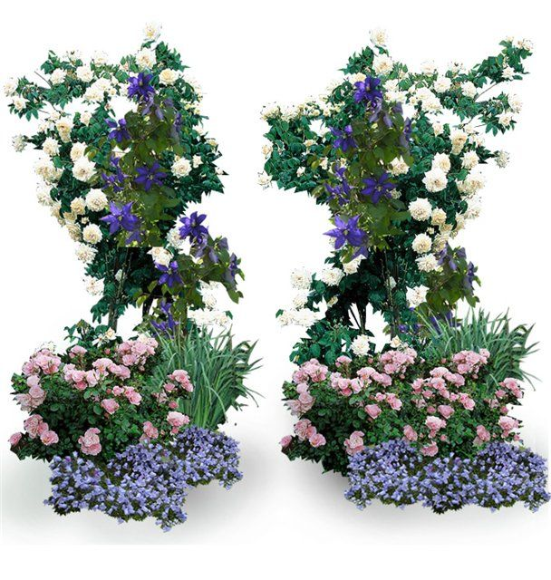 клумба с розами флоксами ирисами - Поиск в Google