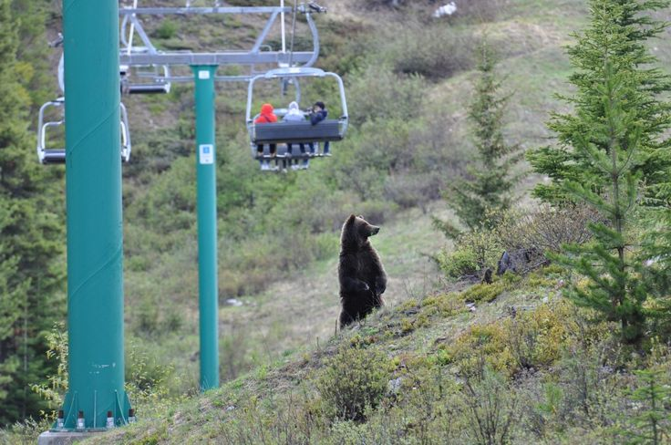 Grizzly Bear  http://monkeysandmountains.com/grizzly-bear-viewing-at-lake-louise#