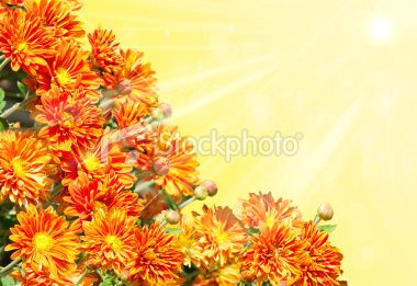 Collage with golden chrysanthemums Royalty Free Stock Photo