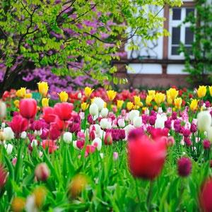 www.rustica.fr - Tulipes et Arbre de Judée - P. Perdereau - Rustica