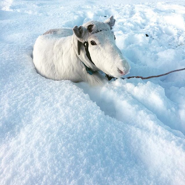 Only a few prosent of the reindeers are all-white. And the are known to enjoy their sleep  This one is not 100 prosent white but oh so cute #altaadventure18 at @samisiidaalta . . . @visitalta @northadventurealta @northernnorway @visitnorthernnorway @visitnorway @ig_nordnorge @ig_week_scandinavia #reindeer #sami #magnific_moments #dametraveler #reinsdyr #snowwhite #winter #finnmark #alta #finnsta #travelgrams #norgesferie #reiseblogger #animallove #samisk