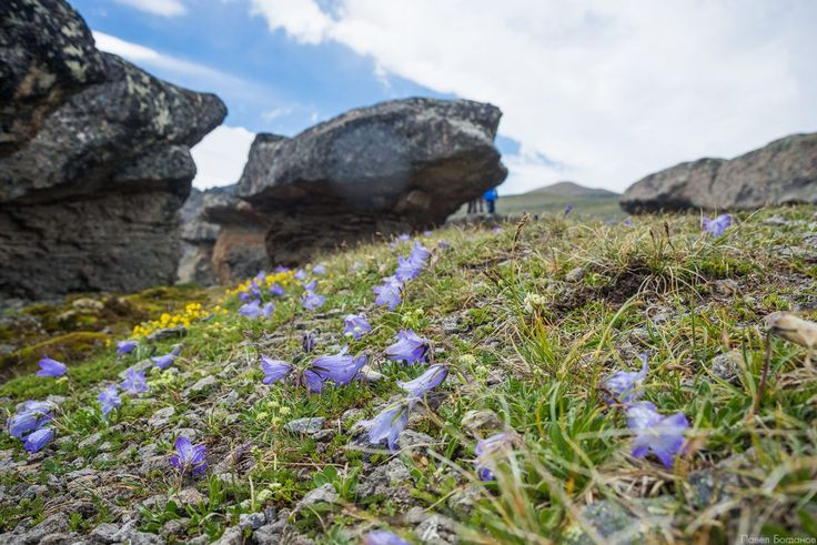 Цветы альпийских лугов с названиями