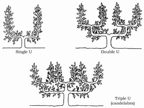 77 best ideas about espalier fruit tree training methods