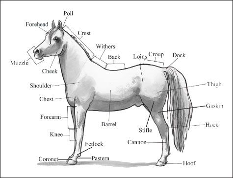 basic body parts of a horse | Withers: The area on the horse's back just after the neck but above ...
