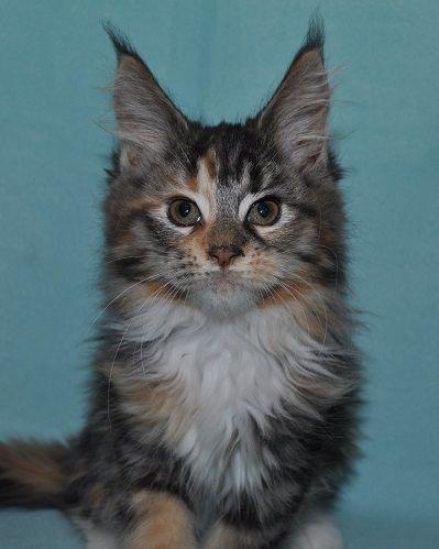 Mainská myvalí kočička - Koťátko Samantha