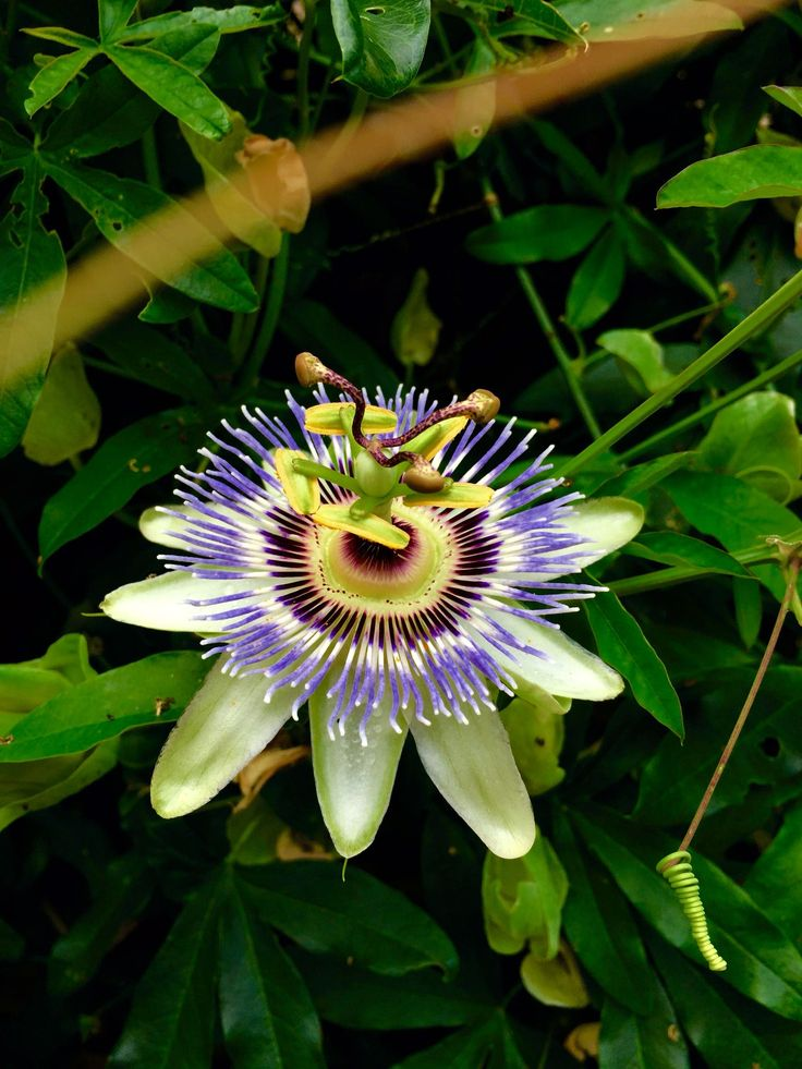 Passion fruit flower New Orleans [1536x2048] [OC] Want an iPad Air/ Air 2/ Air Pro Follow iPad Air Wallpapers To Download board on @cutephonecases